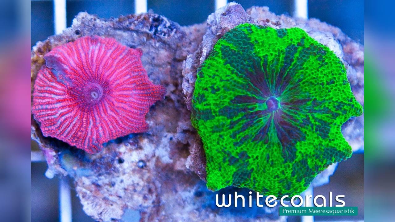 Discosoma sp. 32 Mushroom Coral