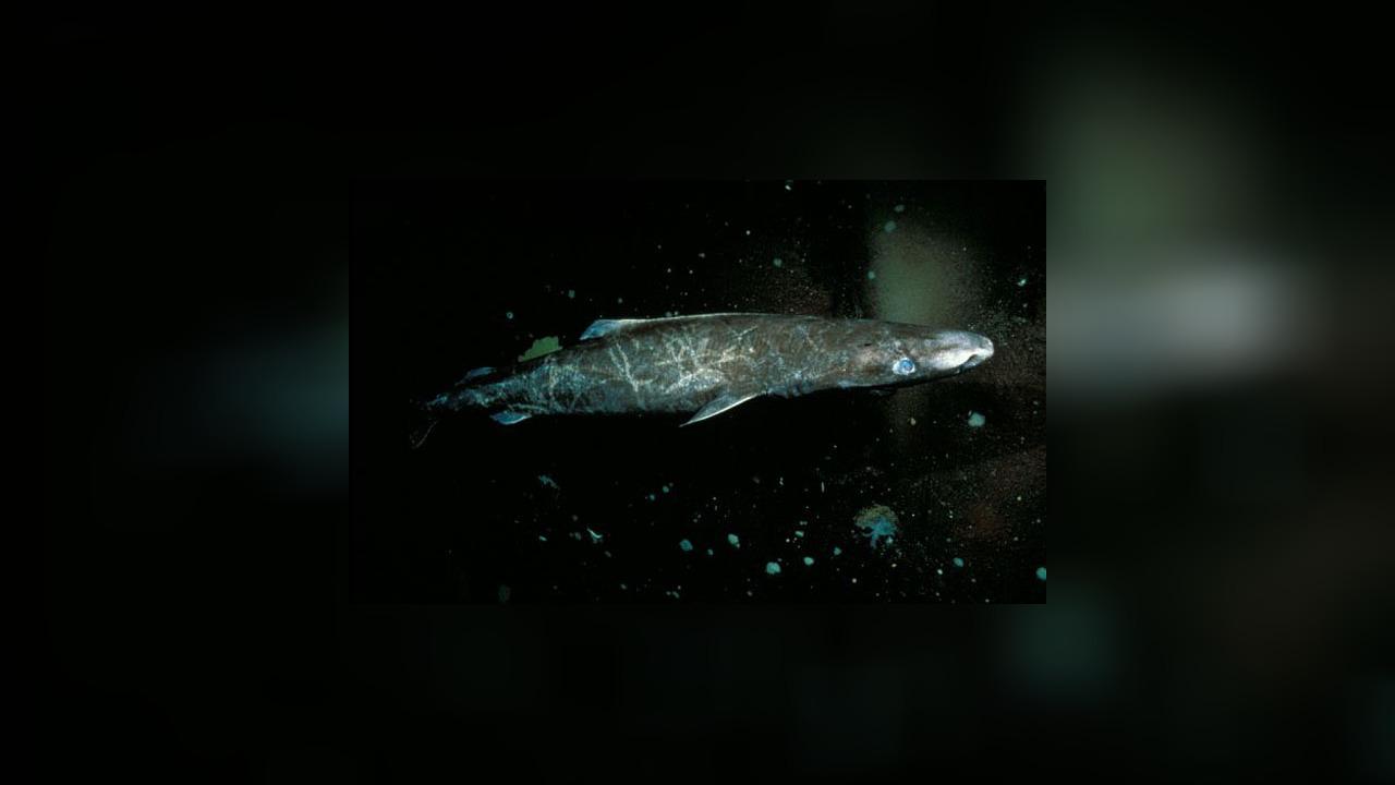 Somniosus Microcephalus Greenland Shark