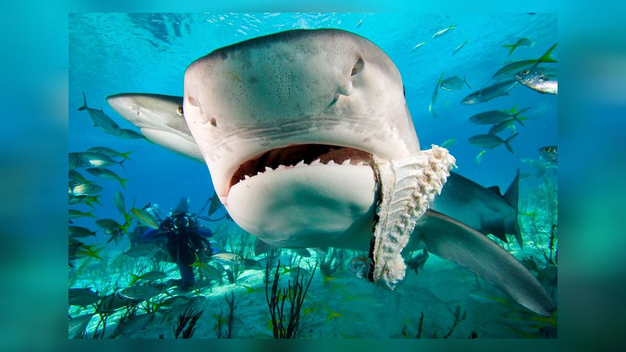 difference between great whites and tiger sharks some stat Play any 10 games to unlock your shot at the bonus locked play now games you've played: 0/10 other channels pchsearchandwincom fast searches.