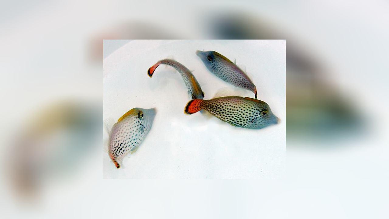 Pervagor spilosoma Fantail filefish
