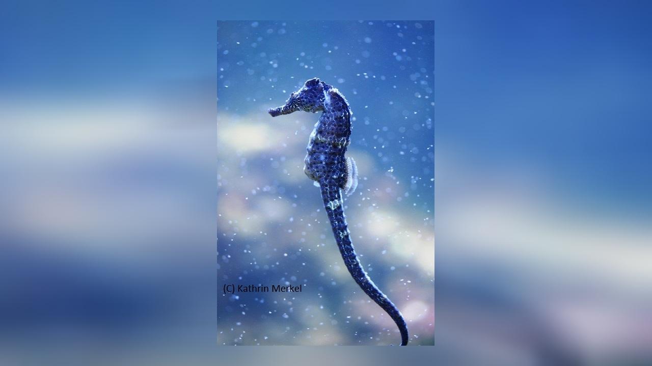 Hippocampus borboniensis Réunion Seepferdchen