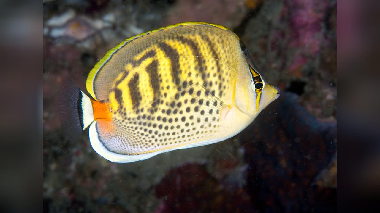 Chaetodon Punctatofasciatus Poisson Papillon à Points