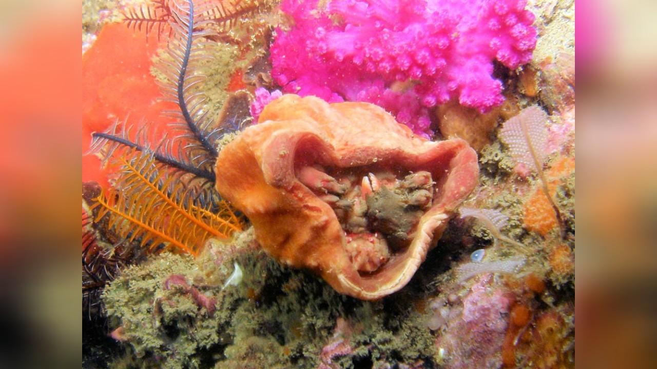 Sponge crab
