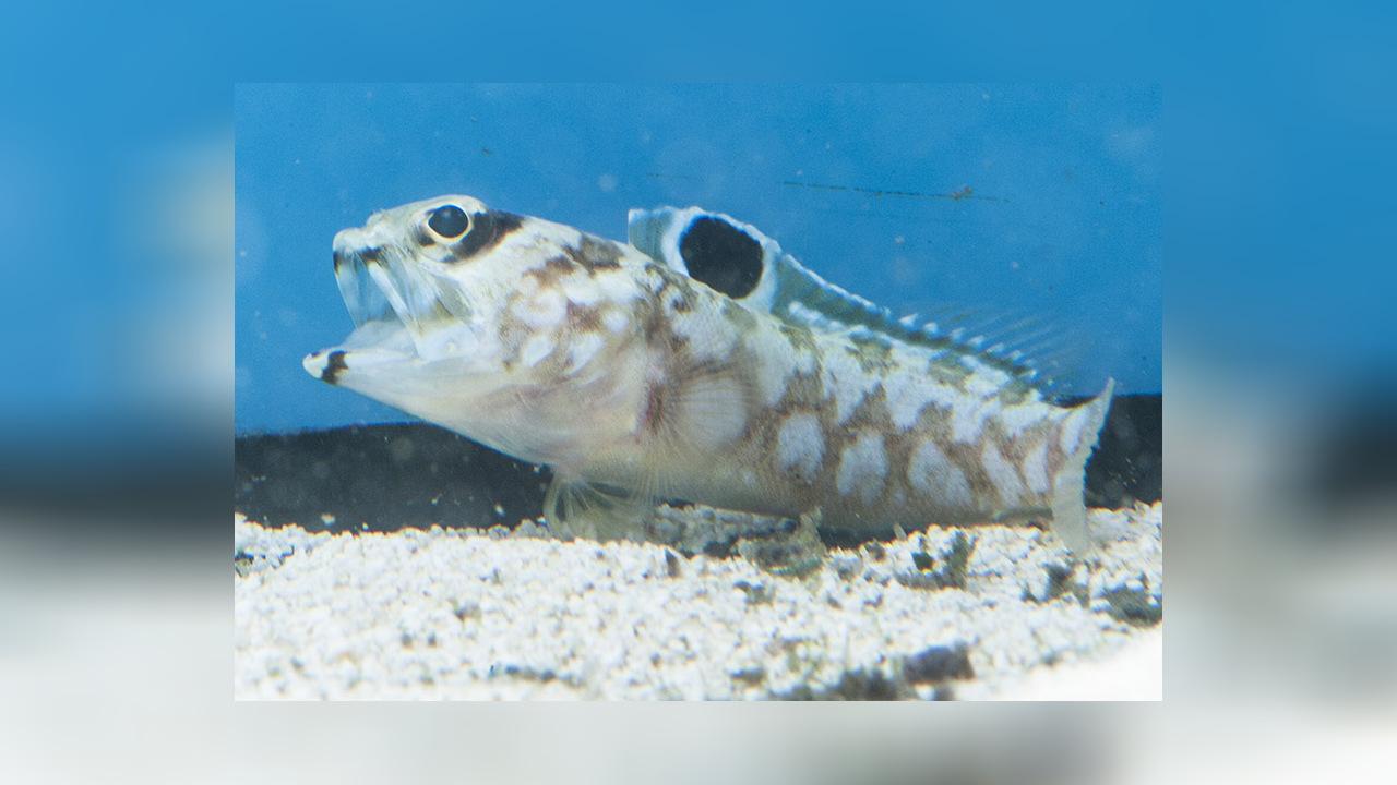 Bullseye jawfish