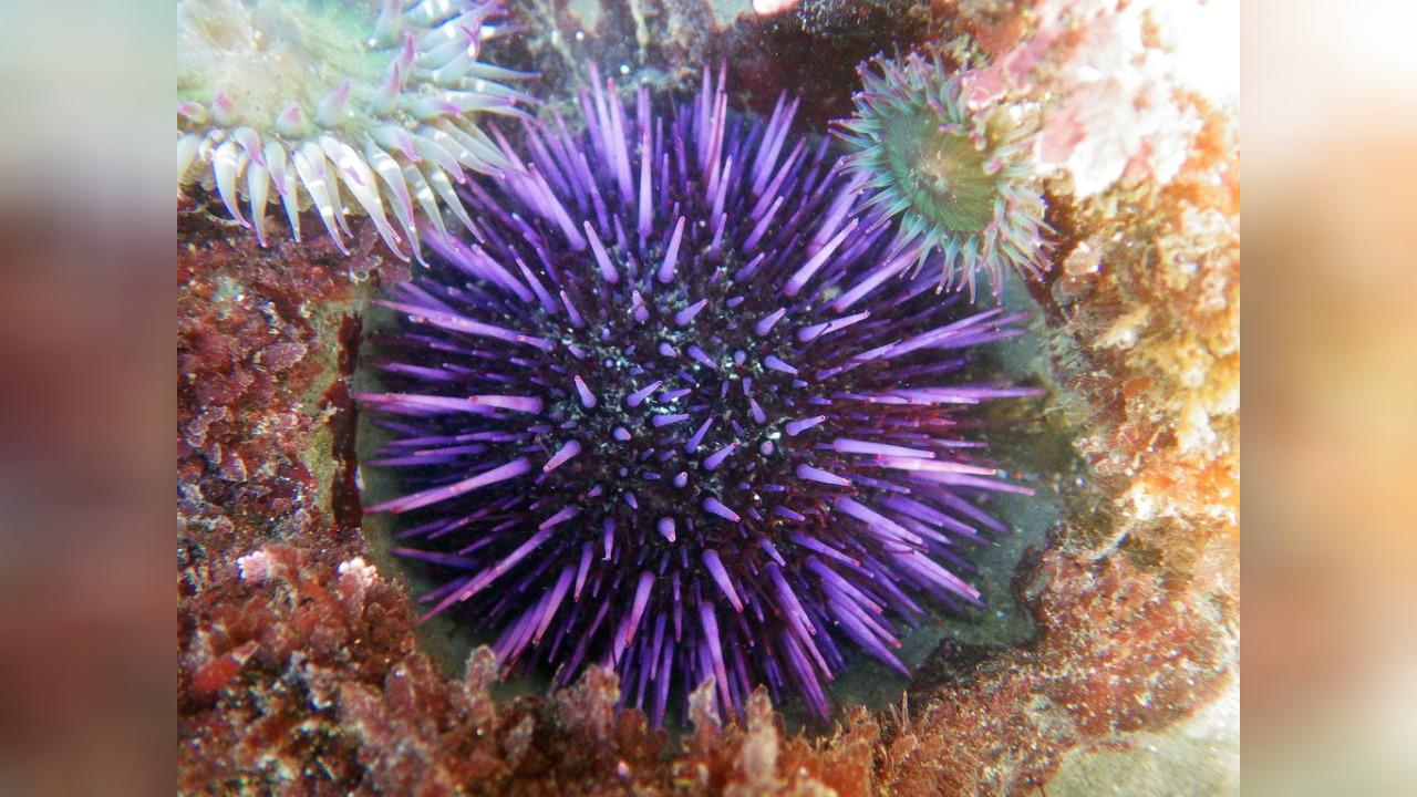 морской еж фото фиолетовый выбрать рисунок самостоятельно