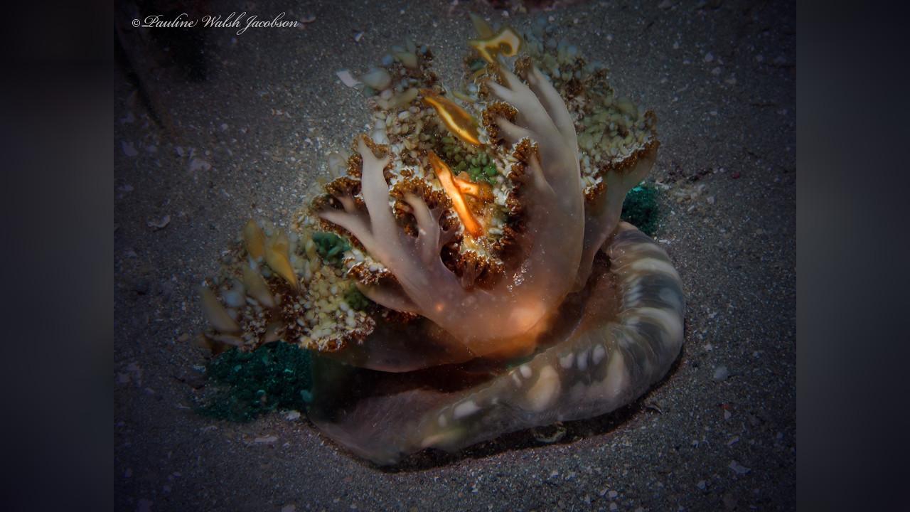 Cassiopea andromeda Upside-down sea jelly