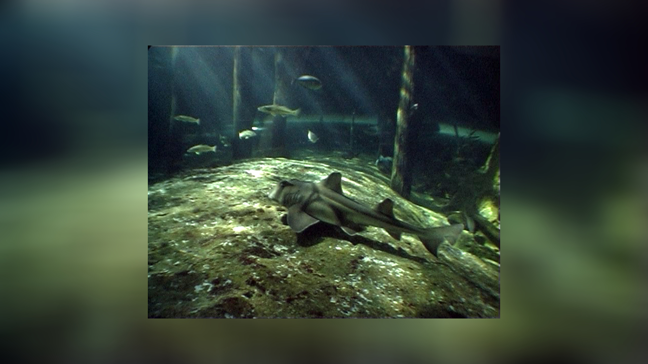 Heterodontus Portusjacksoni Requin Dormeur Taureau