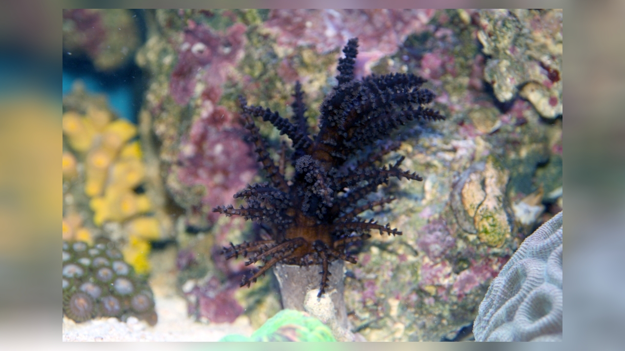 studeriotes longiramosa weihnachtsbaum koralle. Black Bedroom Furniture Sets. Home Design Ideas