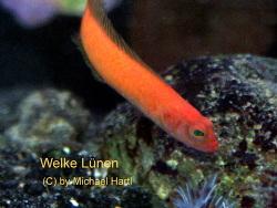 Lubbockichthys multisquamatus thumbnail