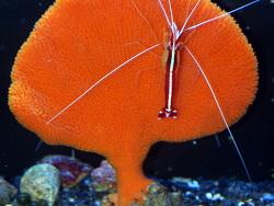 Clathria rugosa thumbnail