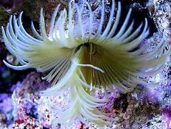 Myxicola sp. 01 thumbnail