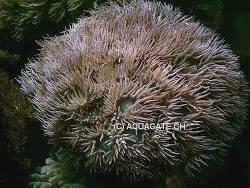 Duncanopsammia axifuga thumbnail