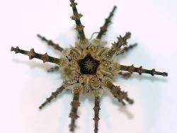 Prionocidaris verticillata thumbnail
