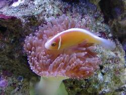 Amphiprion perideraion thumbnail