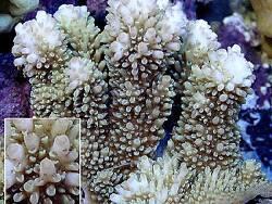 Acropora abrotanoides thumbnail