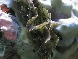 Elysia verrucosa thumbnail