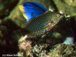 Macropharyngodon ornatus thumbnail