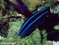 Larabicus quadrilineatus thumbnail