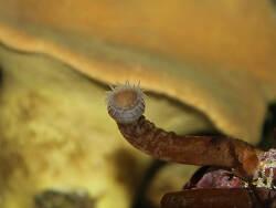 Isaurus tuberculatus thumbnail