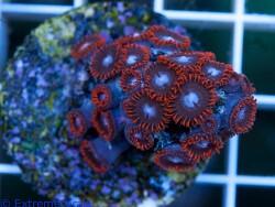 Zoanthus sp. 16 thumbnail