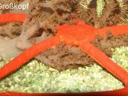 Ophiomyxa flaccida thumbnail