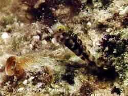 Acanthemblemaria spinosa thumbnail