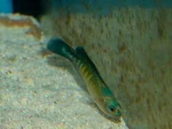 Pseudochromis cyanotaenia thumbnail
