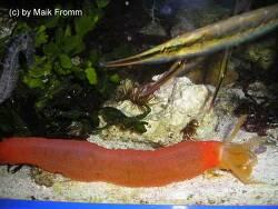 Opheodesoma australiensis thumbnail