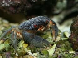 Actaeodes tomentosus thumbnail