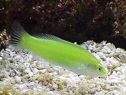 Halichoeres chloropterus thumbnail