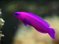 Pseudochromis fridmani thumbnail