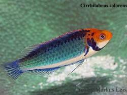 Cirrhilabrus solorensis thumbnail