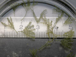 Bryopsis sp. 02 thumbnail