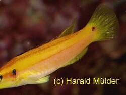 Bodianus bimaculatus thumbnail