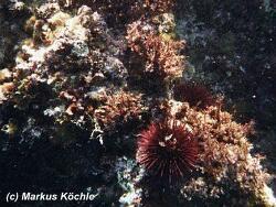 Paracentrotus lividus thumbnail