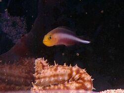 Pseudochromis bitaeniatus thumbnail