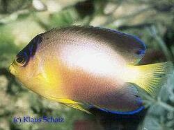 Centropyge multicolor thumbnail