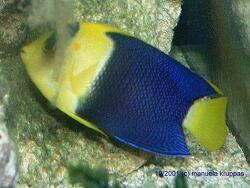 Centropyge bicolor thumbnail