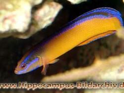 Pseudochromis aldabraensis thumbnail