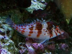Cirrhitichthys falco thumbnail