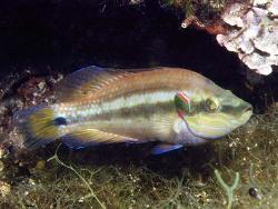 Symphodus ocellatus thumbnail