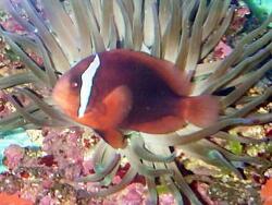 Amphiprion frenatus thumbnail