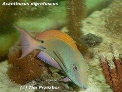 Acanthurus nigrofuscus thumbnail
