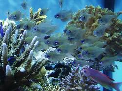 Zoramia leptacantha thumbnail