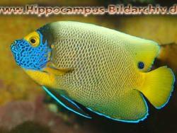 Pomacanthus xanthometopon thumbnail