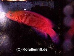 Cypho purpurascens thumbnail