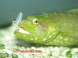 Congrogadus subducens thumbnail