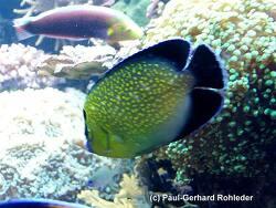 Apolemichthys xanthopunctatus thumbnail