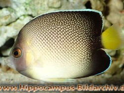 Apolemichthys xanthurus thumbnail