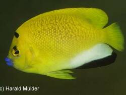 Apolemichthys trimaculatus thumbnail